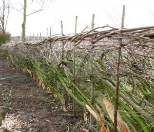 hedge laying and hedge trimming Solihull by Solihull Landscaping